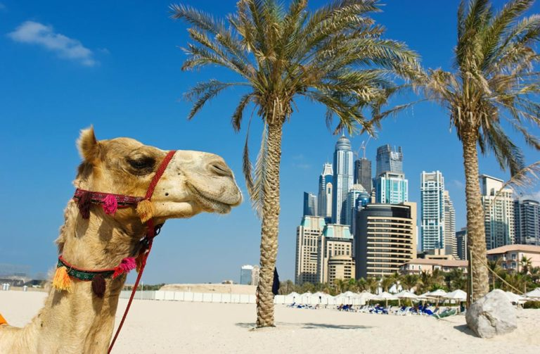 camel in dubai